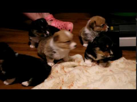 PuppyFinder.com : corgis