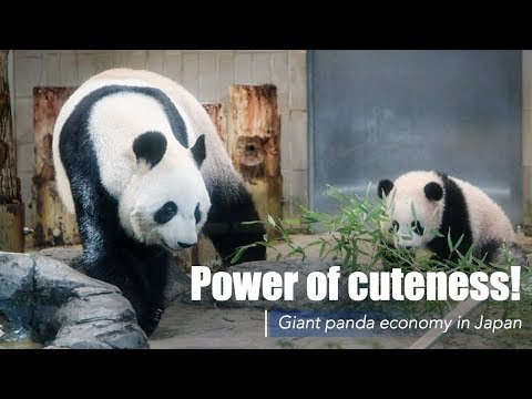 Live: Power of cuteness! Giant panda economy in Japan 日本熊猫经济