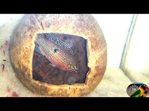 Jewel Fish Breeding Successfully Done