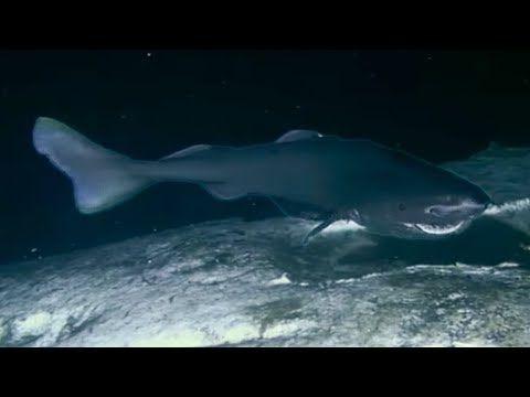 Sharks Feasting On A Whale Carcass | Blue Planet | BBC Earth