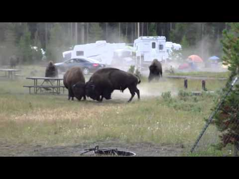 Combat Bison camping Yellowstone Aout 2010