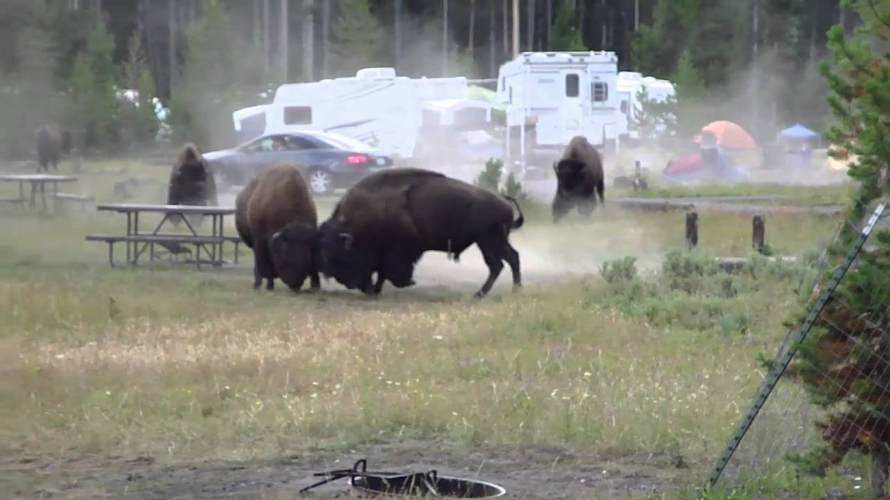 combat bison camping yellowstone aout 2010 youtube