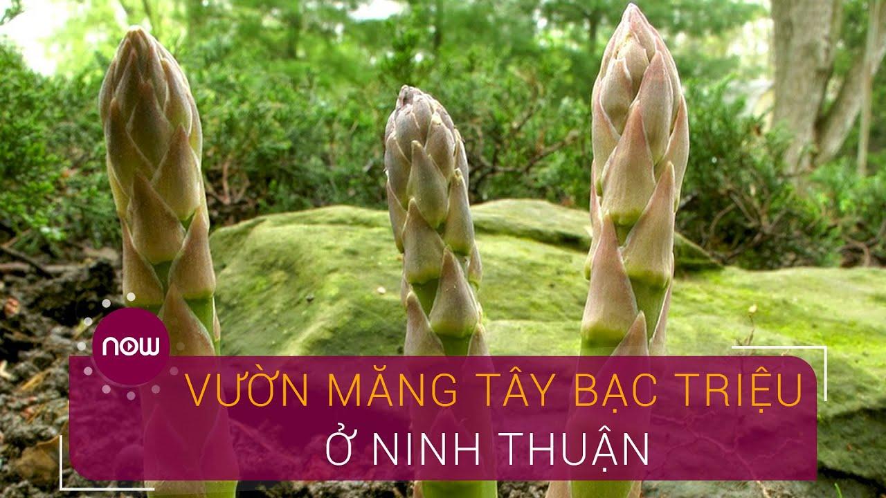 Chiêm ngưỡng vườn măng tây bạc triệu ở Ninh Thuận | VTC Now