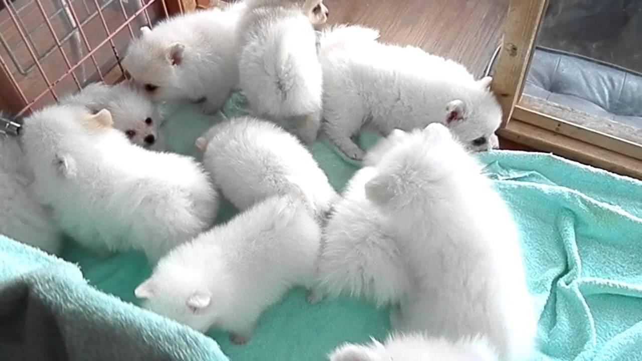 ホワイト ポメラニアン 子犬 伊豆 フラッフィードッグ ℡0558,99,9280 静岡県伊豆の国市