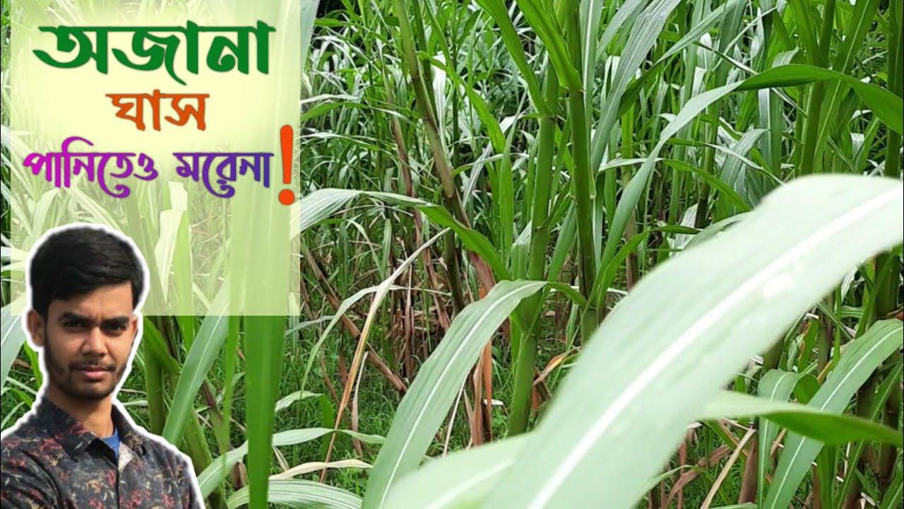অজানা ঘাস চাষ করে খামারে সফলতা নিয়ে আসুন ll 01720-964329 ll ECC news bd.