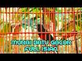 Murai Batu Gacor Full Isian Murai Batu Prospek  Mp3 - Mp4 Download
