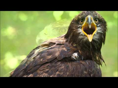 Amazing Facts About Golden Eagles