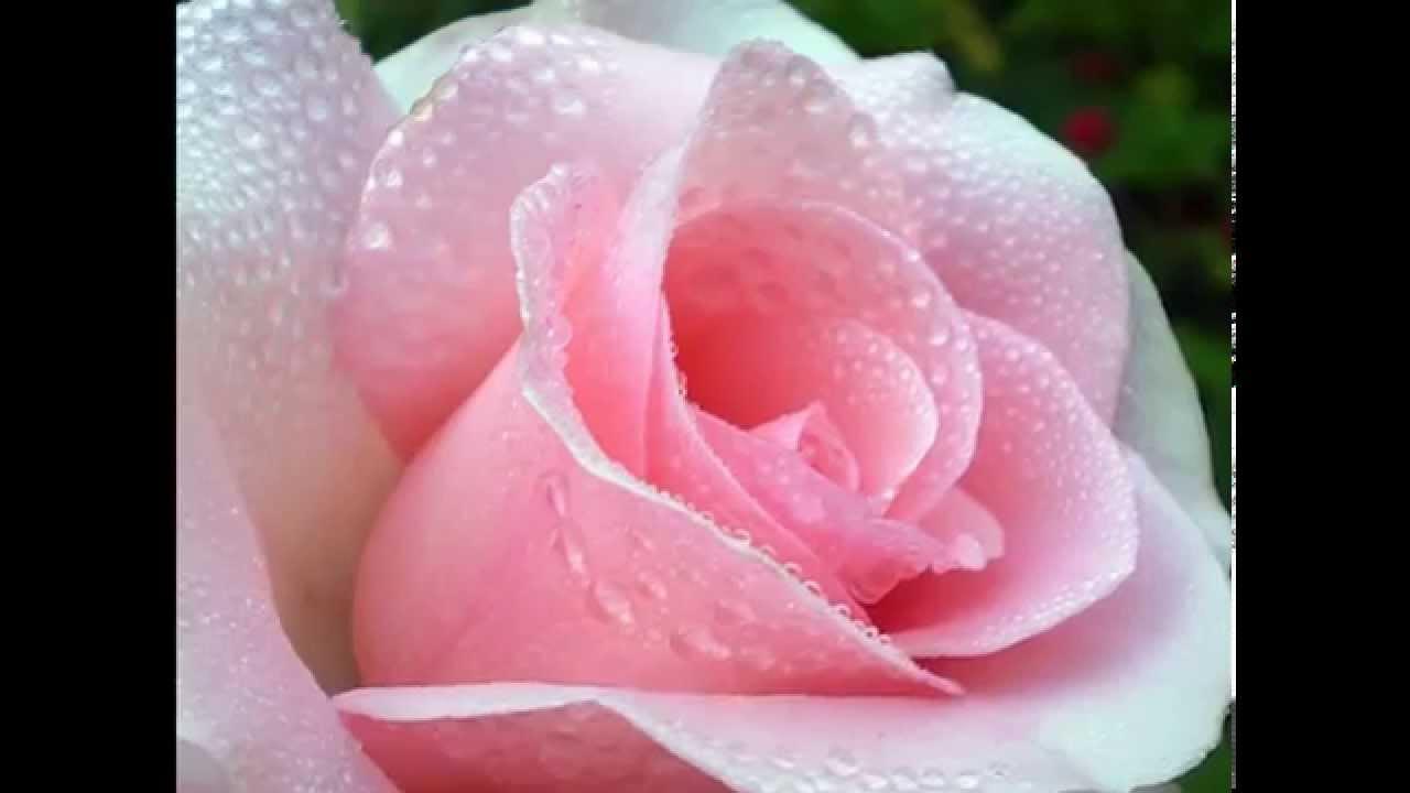 картинки розы в росе