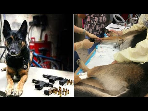 K-9 Officer Recovering After Falling Through Ceiling While Sniffing Out Guns
