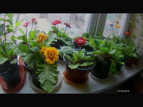 Гербера, цветы, опыление,  уход в зимний период,