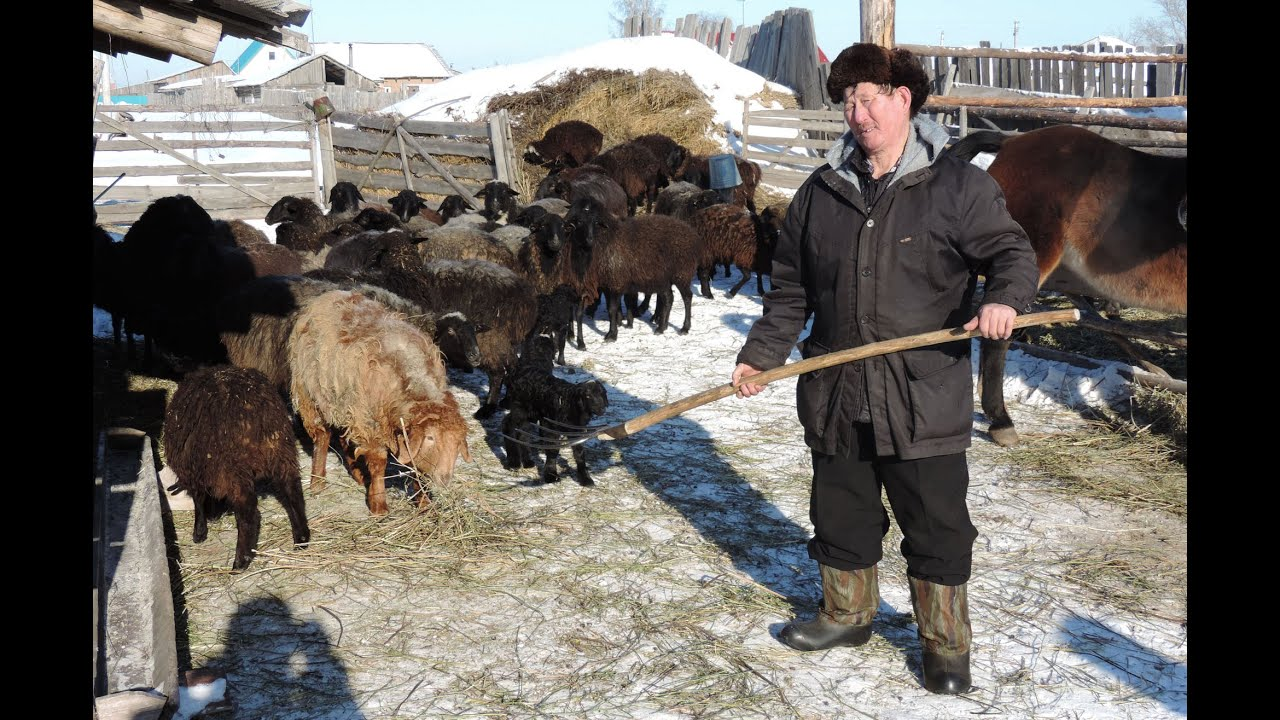 Поголовье овец в районе составляет порядка 5000 голов