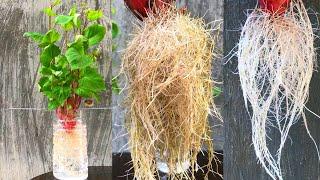 Trồng khoai lang trong nước ra rễ cực nhiều
