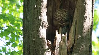 BARRED OWLET, THURS. MAY 24, 2018 3597