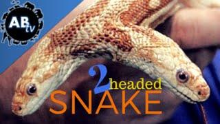 2 Headed Snake! SnakeBytesTV - Ep. 385 : AnimalBytesTV