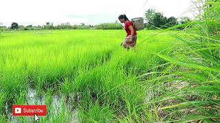 Primitive In forest one - woman fish in rice fields - Catch Catfish