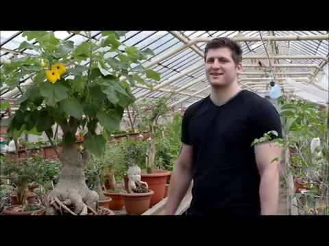 Ункарина Uncarina   самое большое растение в моей коллекции