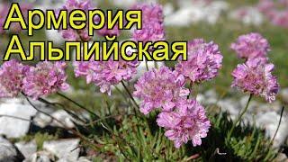 Армерия альпийская. Краткий обзор, описание характеристик, где купить armeria alpina