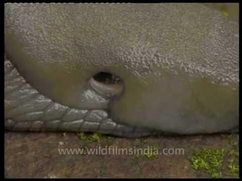 Giant snail-slug in Dehra dun!