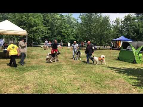 American Akita- REATHFORCE ACCELERATED POWER on dog show