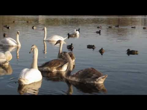 Ilham Idrisoglu-Lebedi(Svans)(Инструментальная музыка)