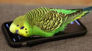 Parakeet activates Siri on iPhone - prolific talking parakeet!