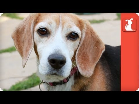 Inseparable Beagles Survive Years Of Animal Testing - Tails Of Survival