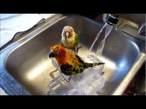 Sun Conure and green cheeks bathing time