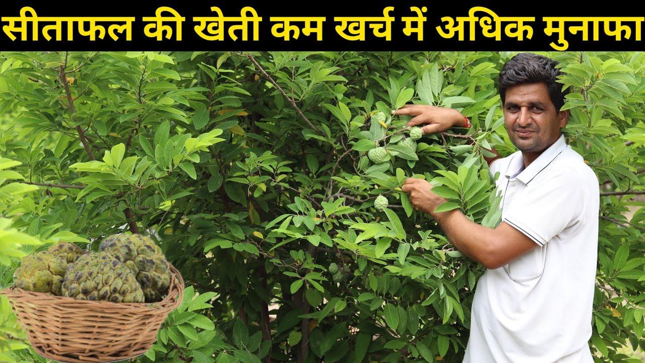 सीताफल की खेती कम लागत में मुनाफा || sitafal ki kheti kese kare || Custard Apple Farming in india