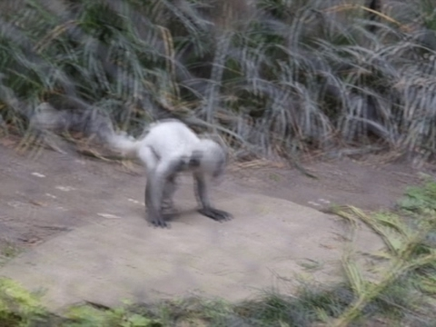 Raw: New Orleans Zoo Debut for Rare Baby Monkey