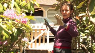 How Do I Prune a Huge Rhododendron? : More Gardening Advice