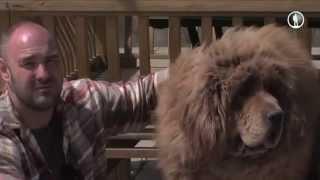Планета собак. Тибетский мастиф