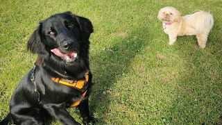 Flatcoated retriever dog videos  2020 Animal story