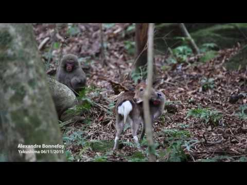 Unlikely couple: Liaison between a Sika deer and a Japanese snow monkey