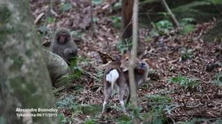 unlikely-couple-liaison-between-a-sika-deer-and-a-japanese-snow-monkey