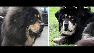 All about Himalayan Dog breeds, which are similar, Tibetan mastiff, Bhoote, Bakarwal & Gaddi. PART 1