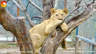 Царь горы или львёнок - птичка 🐥😃. Тайган. Lions cub climb on tree. Taigan.