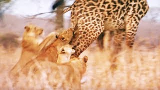 Des lionnes chassent et tuent une girafe - ZAPPING SAUVAGE
