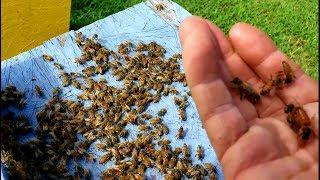 Bees Killing Queen Then Feeding Same Queen