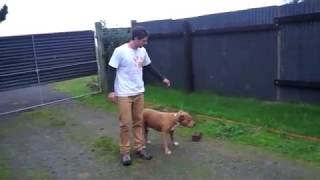 Repeat youtube video Aggressive American Staffordshire terrier begins his rehab