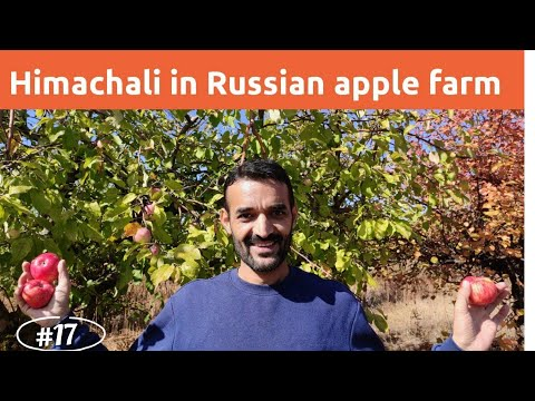 Apple Farms In RUSSIA || Indian In Russia || Himachali Orchidist In Russia
