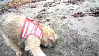 生まれて初めて海に遊びに来たNicole(3ヶ月半) ハイテンションで穴掘...