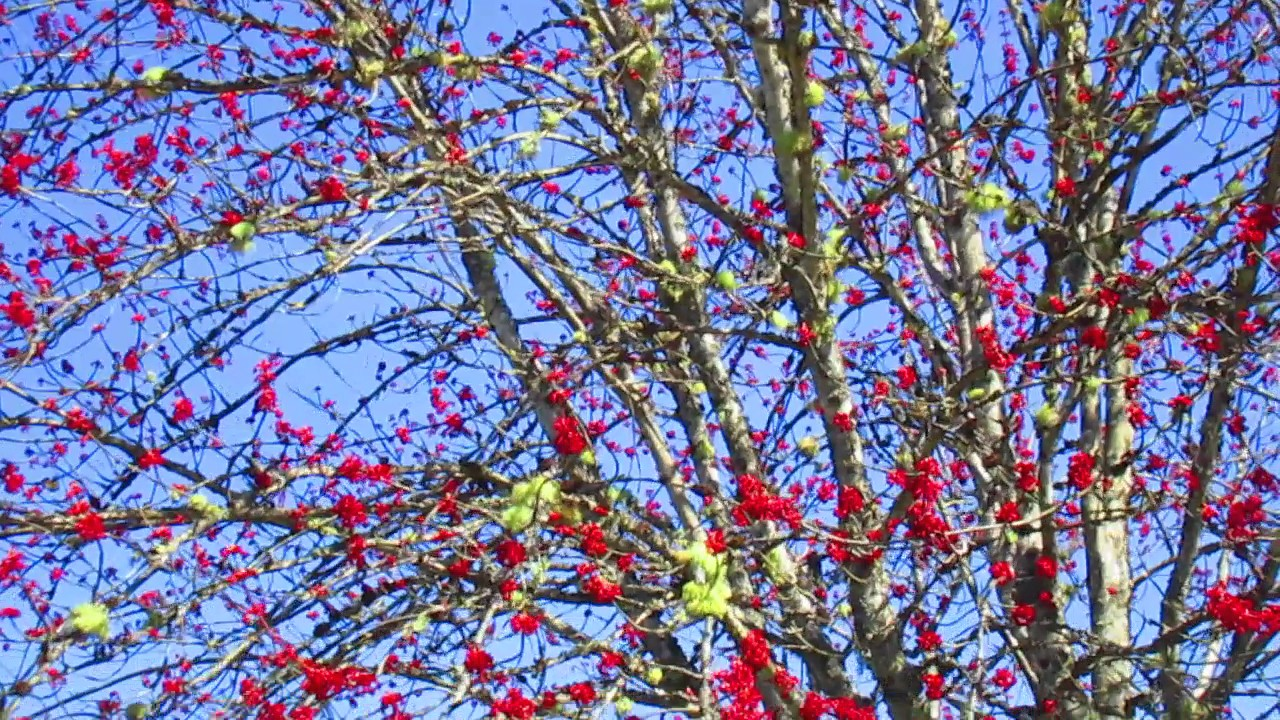 Maple Tree With Red Flowers Youtube