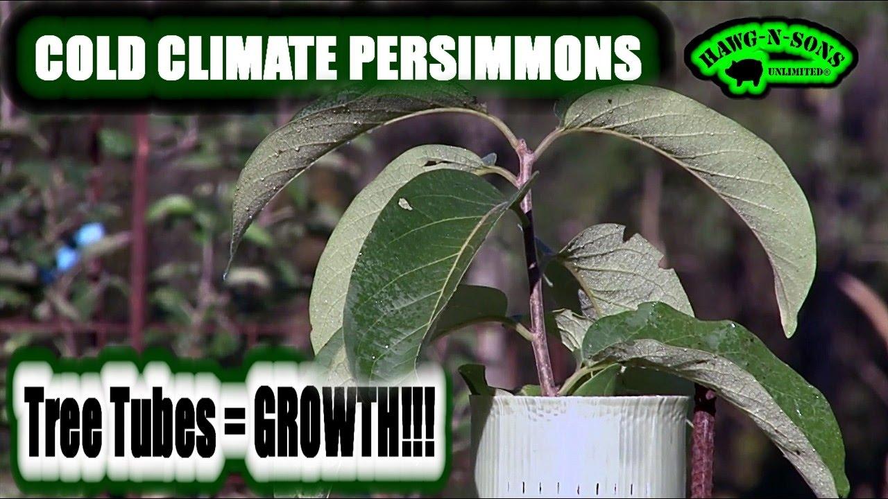Stark Bro S Nurseries Prok Yates Fruit Trees Vs Morse Nursery Meader Persimmon