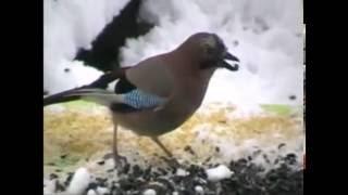 Голоса птиц  Сойка