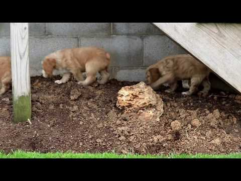 Cocker Spaniel Mix Puppies for Sale