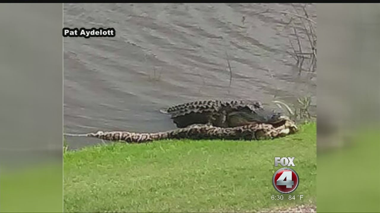 Golfers stunned to see alligator casually eating python a few yards from fairway