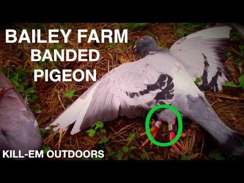 Bailey Farm Banded Pigeon!