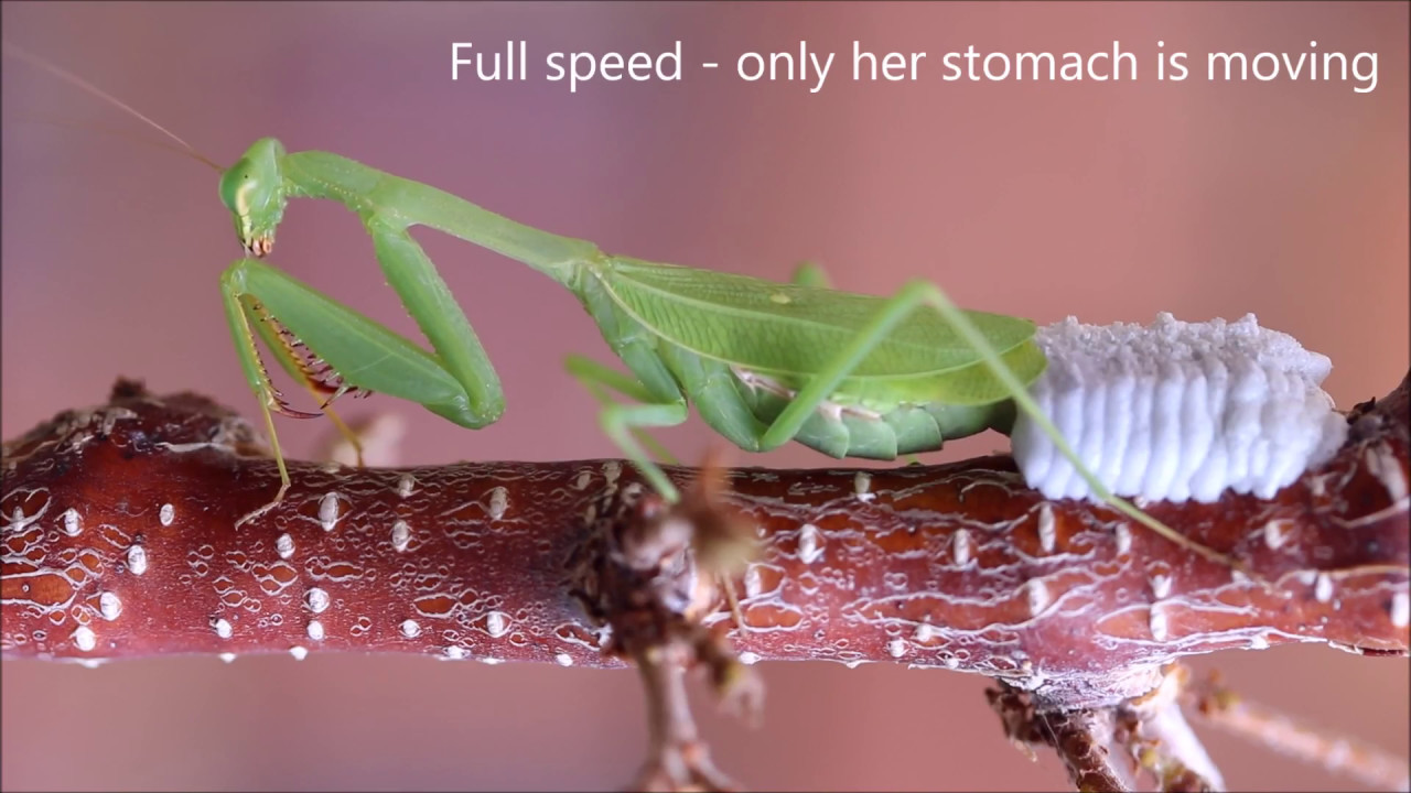 Praying Mantis Laying An Ootheca Of Eggs Youtube
