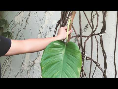 How NOT To Plant Pothos (Epipremnum aureum) Plants!