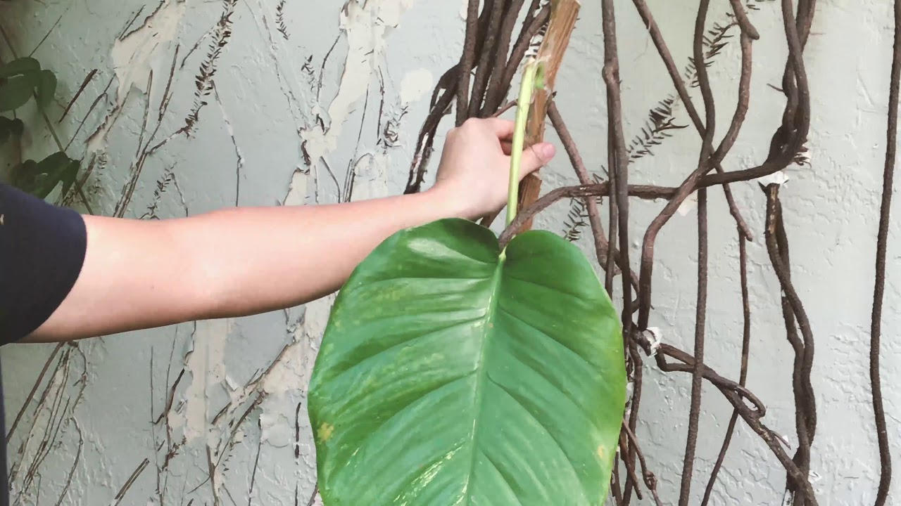 Awesome aroid gorgeous leaves Epipremnum aureum GOLD Rooted plant.